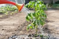 Полив помидоров - получаем качественный урожай томатов